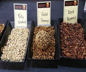 Honey Process Coffees pictured showing different amounts of mucilage left on the coffee bean which impacts the coffee flavor