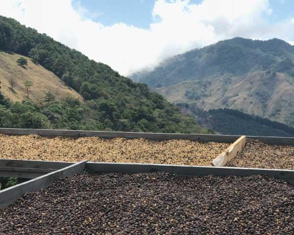 Drying Beds at Santa Teresa in Costa Rica 2100 meters on Ladro Roasting's Spring 2017 Coffee Buying trip