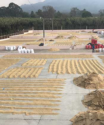 An image of the drying patio at Finca Bella Vista on Spring 2017 Guatemala Coffee Buying Trip