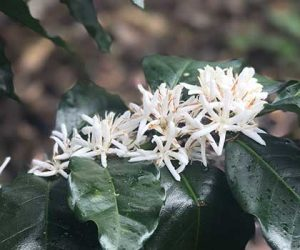 Coffee is both maturing and flowering in Peru