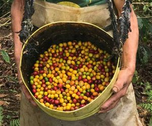 Freshly picked Peru coffee cherry in basket while coffee picker holds it.